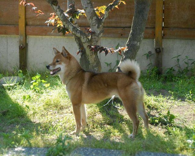 日本犬.JPG